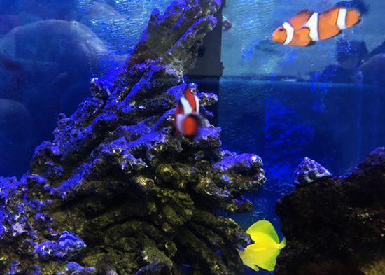 Clownfish & Yellow Tang